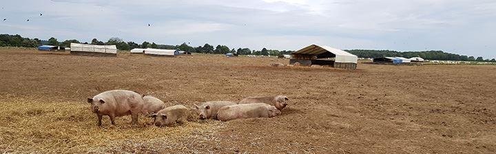 Afbeelding: 190613_CTP_Country trip UK_pigs_in line